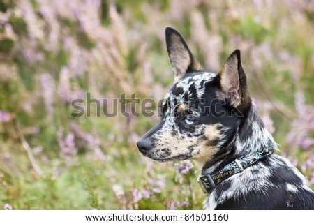Little Chihuahua Tricolor in green outside