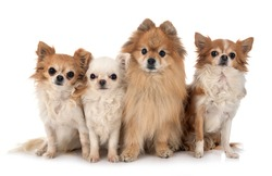 little chihuahuas and spitz in front of white background