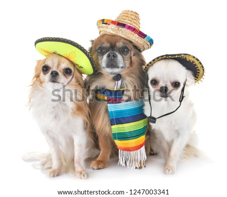 little chihuahuas in front of white background #1247003341