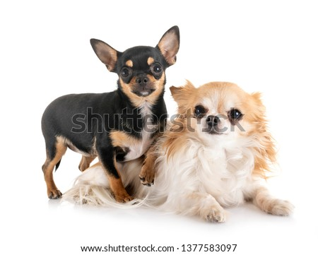little chihuahuas in front of white background #1377583097