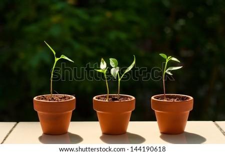 little chili plants on the balcony - stock photo
