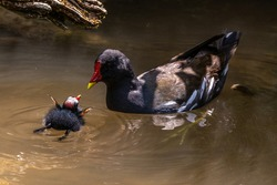 Little Common moorhen baby, Gallinula chloropus also known as the waterhen, the swamp chicken, and as the common gallinule swimming at a blue lake water