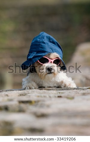 little cool dog with hat and sunglasses on
