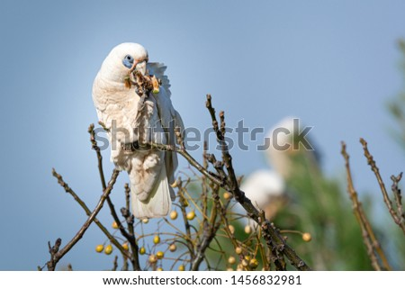 Little Corella, Blue-eyed Cockatoo,Cacatua sanguinea perched and separated from background by shallow depth of focus. Feeding on a Pine cone. Australian native Cockatoo. #1456832981