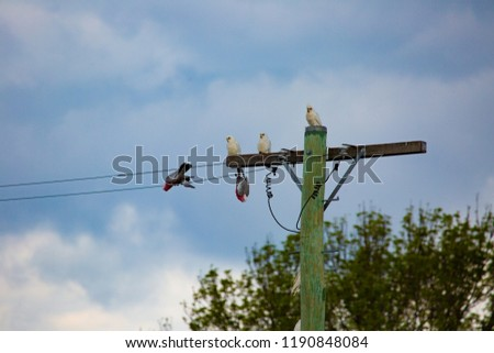 Little corellas (Cacatua sanguinea) watching two Gallahs (Eolophus roseicapilla) make gallahs of themselves on a powerline, Tenerfield, New South Wales, Australia #1190848084