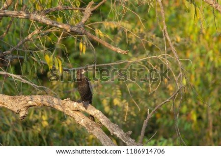 Little cormorant (Microcarbo niger). Hiran river. Sasan Gir. Gujarat. India.