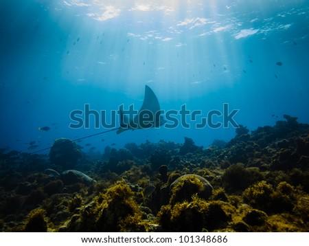 LITTLE CORN ISLAND, NICARAGUA: Eagle ray flies across a coral reef.myliobatidae myliobatis aquila,