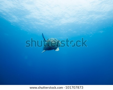 LITTLE CORN ISLAND, NICARAGUA: Injured loggerhead sea turtle, Caretta caretta, with missing flipper swims to the surface. - stock photo