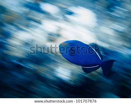 LITTLE CORN ISLAND, NICARAGUA: Motion shot of blue trigger fish (pseudobalistes fuscus) swimming on coral reef.