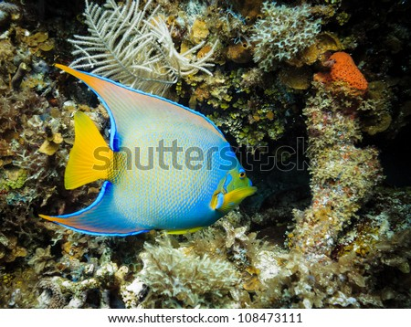 LITTLE CORN ISLAND, NICARAGUA: Tropical blue and yellow Queen Angel fish Holacanthus ciliaris, on coral reef