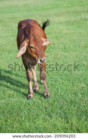 little cow in a farm