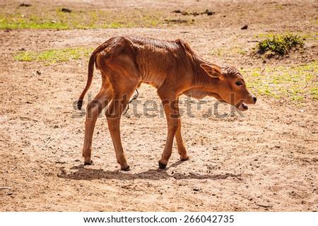 Little cow in Kenya