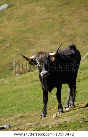 little Cow on a meadow