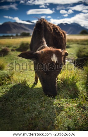 little cow on grassland,Pangong lake, Ladakh