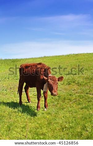 Little cow on green field