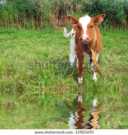 Little cow  on green meadow