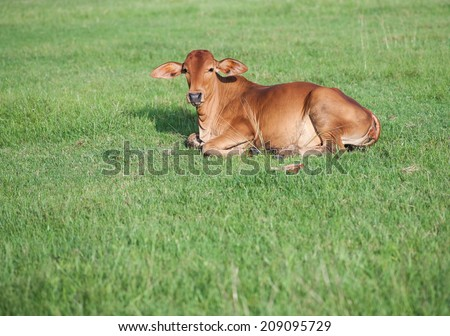 little cow on the field