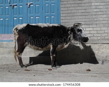 Little cow, rare breed of cattle only found around Manang and Muktinath