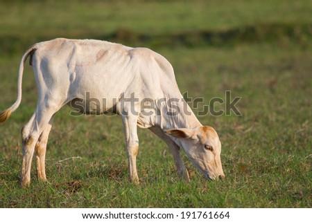 Little cow standing alone in green field