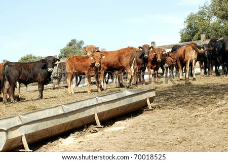 Little cows