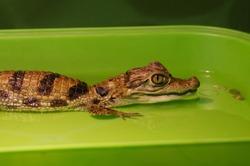Little crocodile cub in water. Portrait - close-up. Reptile, amphibian.