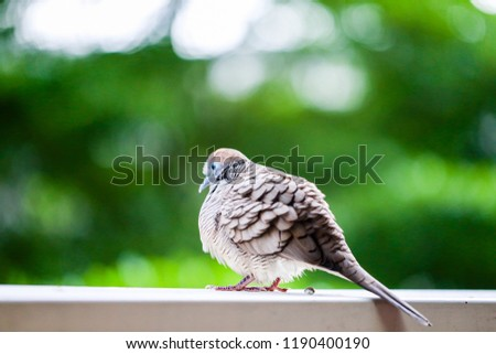 Little Cuckoo-Dove on the iron rail, blurred green tree