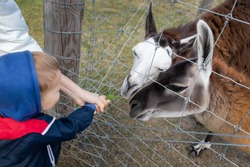 Little cute adorable caucasian blond toddler boy having fun enjoy feeding alpaca or lama animal with grass in hand at far yard or zoo. Children outdoor activities and pet care