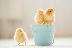 Little cute baby chicks in a bucket, playing at home, yellow newborn baby chicks