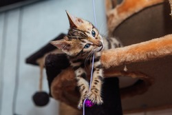 Little cute bengal kitten is playing with a toy on a shelf of cat's house.