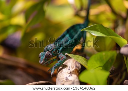 Stock Photo Little cute chameleon on a tree branch. Attentive chameleon sneaks on the branch. Turquoise red chameleon.