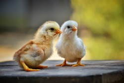 Little cute chicks searching for mothers love