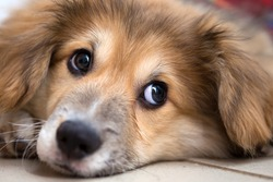 little cute corgi fluffy puppy close up portrait