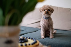 Little cute dog with a pie. Toypoodle.
