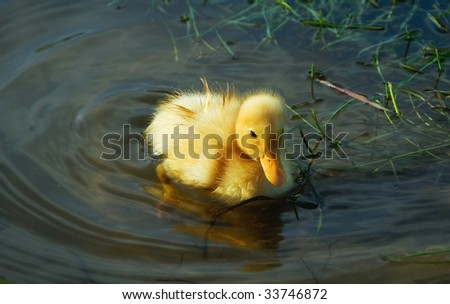 little cute duckling swimming in the lake