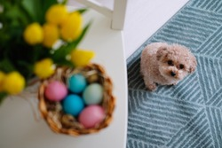 Little cute easter dog. Toypoodle with eggs and tulips.
