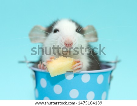 Little cute furry rat sits in a blue metal bucket on a blue background. #1475104139