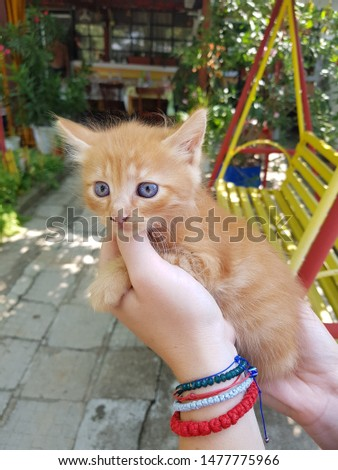 Little cute ginger kitty with blue eyes enjoys stroking. Bulgarian girl's hand stroked the little red and white color fluffy kitten. Domestic animals in the yard of a house.