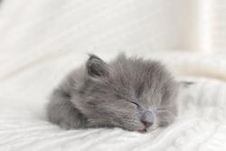 little cute gray kitten cat briton sitting on a white background