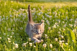 little cute gray kitten cat playing on the grass in summer. High quality photo