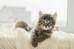 little cute gray kitten plays on a white plaid by the window