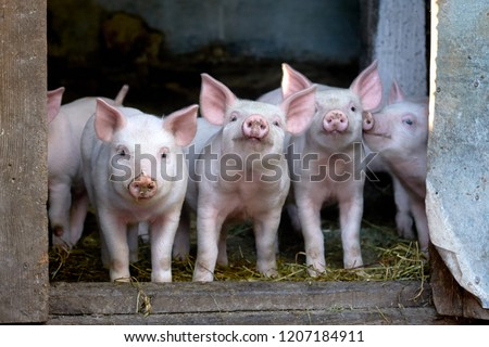 little cute pigs on the farm. Growing pigs. Portrait of an animal ストックフォト ©