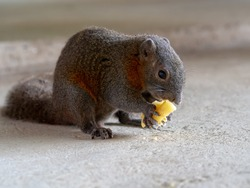Little cute squirrel eating pineapple on floor. Forest animal in city.