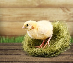 Little cute yellow chicken in the nest