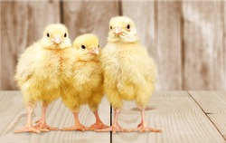 Little cute yellow chickens on the wooden desk