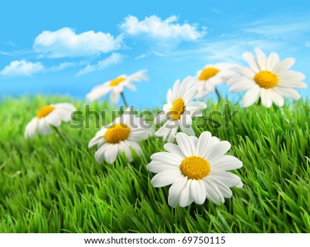 Little daisies in grass against a blue sky
