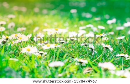 little daisy blooming  on green fields backgrounds #1378474967
