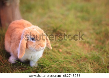 Little decorative rabbit is walking on a green grass outdoors. Cute brown bunny in the meadow. Warm filter on photo, blurry nature background. Copy space. Concept for Care for pets, easter bunny.