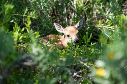 Little deer. Nature landscape. Bambi Fawn. White tailed roe deer, capreolus. Beautiful wildlife buck
