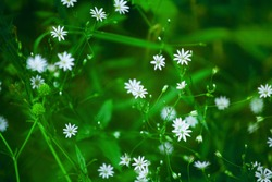 Little delicate white flowers blossom on blurred green grass background close up, small gentle daisies soft focus macro, wild blooming chamomiles, spring natural floral backdrop, summer season nature