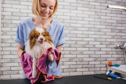 little dog at grooming procedures, pet get beauty procedures in salon. professional care of dogs. woman wipes the dog with towel